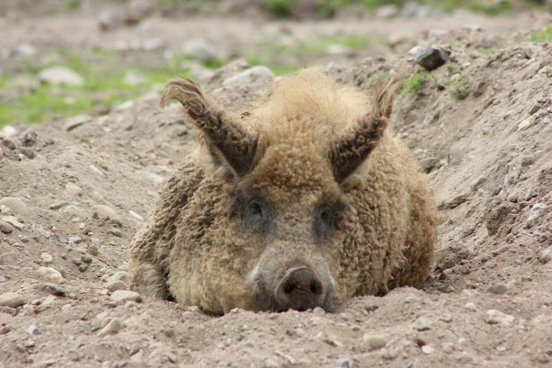 Wollschwein - Mangalica-Schwein